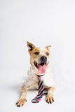 Adorable Big Dog With a Tie. Adorable brown dog with his classiest tie on Royalty Free Stock Images