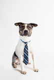 Adorable Big Dog With a Tie. Adorable white and brown dog with his best classy tie on Royalty Free Stock Photos
