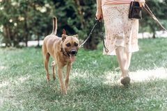 Adorable big eye brown dog on a walk with his owner, cute mongrel dog enjoying nature outdoors, animal shelter concept stock images