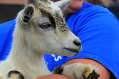 Adorable billy goat being held in caring arms Stock Photo