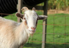 Adorable Billy goat at petting zoo Stock Photography