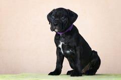 Adorable black cane corso puppy Stock Photo