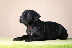Adorable black cane corso puppy Stock Photography