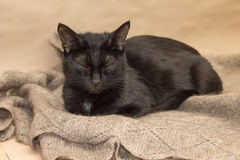 Adorable black cat basking on warm shawl Royalty Free Stock Photo