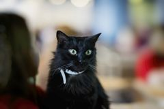 Adorable black cat in hands of girl volunteer, in shelter for homeless. His beautiful green eyes surprised that girl. Adorable black cat in the hands of girl Royalty Free Stock Photography