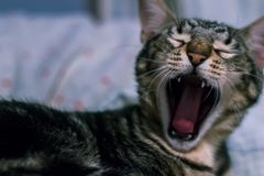 Free Adorable Black Cat Yawning Opening Its Mouth Stock Photo - 163434300