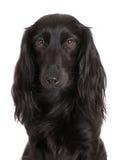 Adorable black dachshund dog Stock Photography
