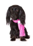 Adorable black dachshund dog in a scarf Royalty Free Stock Image
