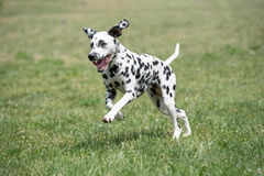 Adorable black Dalmatian dog outdoors in summer. A young beautiful Dalmatian dog running on the grass Stock Photography