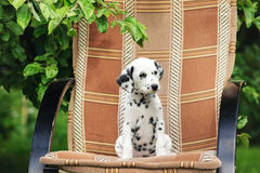 Adorable black dalmatian puppy Royalty Free Stock Images