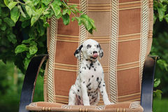 Adorable black dalmatian puppy Royalty Free Stock Photo