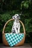 Adorable black dalmatian puppy Royalty Free Stock Photos