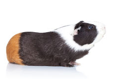 Adorable black guinea pig Royalty Free Stock Photo