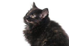 Adorable Black Kitten. On White royalty free stock photos