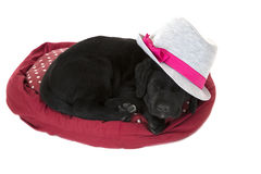 Adorable black labrador puppy asleep wearing gray hat Royalty Free Stock Image