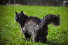 Adorable black Maine Coon cat on grass. Black Maine Coon cat on green grass in a garden stock photos