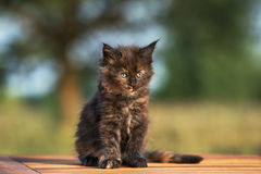 Adorable black maine coon kitten outdoors Stock Image