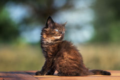 Adorable black maine coon kitten outdoors Stock Images