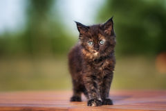 Adorable black maine coon kitten outdoors Royalty Free Stock Photos