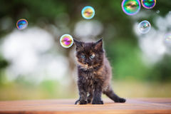Adorable black maine coon kitten outdoors Stock Photo