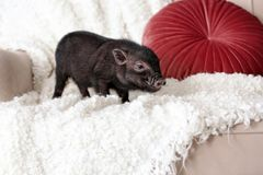 Adorable black mini pig on sofa. At home royalty free stock photos