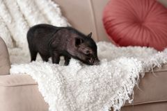 Adorable black mini pig on sofa. At home stock photos