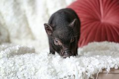 Adorable black mini pig on sofa. At home royalty free stock photography