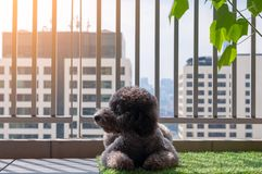 An adorable black poodle dog relaxing at balcony. royalty free stock image