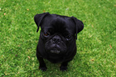 Adorable Black Pug Outdoor Portrait 2 Royalty Free Stock Image