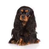 Adorable black and tan cavalier king charles spaniel dog Royalty Free Stock Image