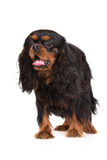 Adorable black and tan cavalier king charles spaniel dog Royalty Free Stock Photos