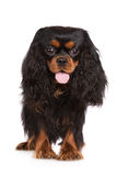 Adorable black and tan cavalier king charles spaniel dog Stock Photos