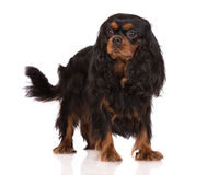 Adorable black and tan cavalier king charles spaniel dog Royalty Free Stock Photo