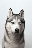 Adorable black and white with blue eyes Husky. on grey background. Focused at eye. Adorable black and white with blue eyes Husky. Studio shot. on grey background stock images