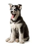 Adorable black and white with blue eyes Husky puppy. Royalty Free Stock Photos