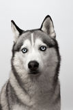 Adorable black and white with blue eyes Husky. Studio shot. on grey background. Focused on eyes.  stock images