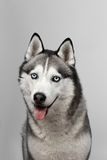 Adorable black and white with blue eyes Husky. Studio shot. on grey background. Focused on eyes.  royalty free stock images