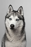 Adorable black and white with blue eyes Husky. Studio shot. on grey background. Focused on eyes.  Stock Photo