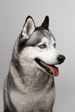 Adorable black and white with blue eyes Husky. Studio shot. on grey background. Focused on eyes.  stock photography