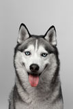 Adorable black and white with blue eyes Husky. Studio shot. on grey background. Focused on eyes.  royalty free stock image