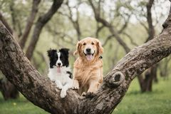 Adorable Black And White Border Collie and Golden retriever at the tree royalty free stock image