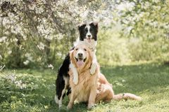 Adorable Black And White Border Collie hugs Golden retriever at the flowers trees royalty free stock photos