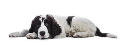 Adorable black and white Landseer puppy. Standing laying down side ways with head on paws isolated on white background while looking very bored royalty free stock photos