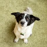 Adorable black and white long-haired dog is sitting on a floor. Adorable black and white long-haired dog is sitting on a floor and looking into the camera Stock Photo