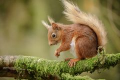 Adorable blond tailed squirrel Stock Image