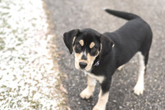 Adorable blue tick hound puppy mix. Playful puppy outside during winter seen from above Stock Photography
