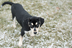 Adorable blue tick hound puppy mix. Playful puppy outside during winter seen from above Stock Photos