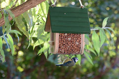 Adorable bluetit hanging on a feeder. Adorable cyanistes caeruleus bluetit bird feeding hanging on the bottom of a feeder in a garden tree Stock Photo