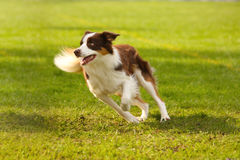 Adorable border collie Royalty Free Stock Images