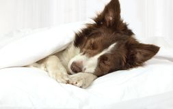Adorable Border Collie dog lying on a bed under blanket. Beautiful Collie border breed dog sleeping in bed covered with a blanket royalty free stock image